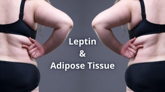 Leptin and Adipose Tissue: An Easy Explanation [2021]