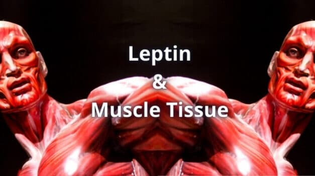 Leptin and Muscle Tissue: A Detailed Study [Updated 2021]