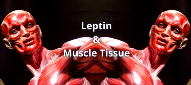 Leptin and Muscle Tissue