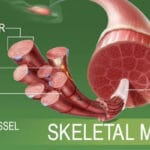 Leptin and Skeletal Muscle: The Best Explanation [Updated 2021]