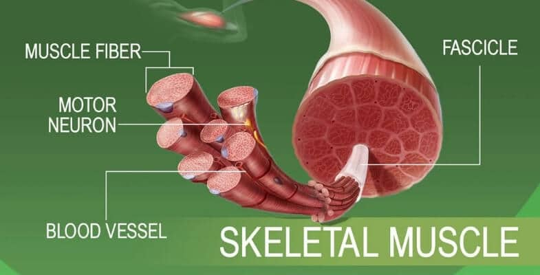 Leptin and Skeletal Muscle