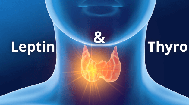 Leptin and Thyroid: Easy Explanation [Updated 2021]